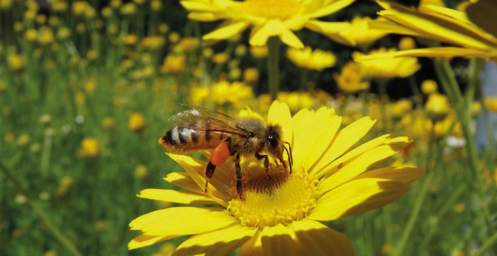 Bienenfreundliche Blühstreifen